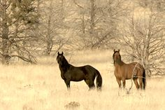 The Kiger Mustangs have been genetically traced back to the Spanish Mustangs of the 1600s. They are found in Southeastern Oregon.