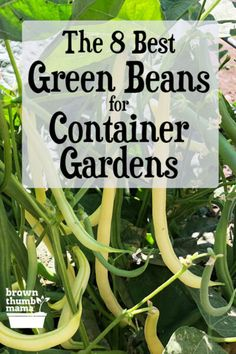 Rock Garden Landscaping You can grow green beans, snap beans, or wax beans even if you dont have a lot of space! Here are the 8 varieties of bean that will thrive and produce a huge harvest in pots or containers.