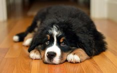 Bernese Mountain Dog, fluffy black dog, cute animals, pets, dog, Berner Sennenhund