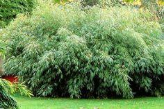 Fargesia rufa - Bambou, Bambou parapluie | Toutes les plantes avec Florum