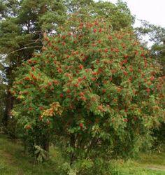 Sorbus aucuparia Beautiful Dream, Finland, Shrubs, Natural Beauty, Flowers, Nature, Plants, Climbers, Animals