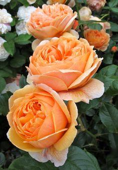 'Carolyn Knight' English Rose ~ 'Summer Song'