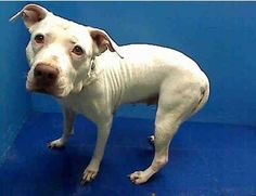SUPER URGENT 7/22/13 Brooklyn Center  KELLY a/k/a KILA - A0972647  FEMALE, WHITE, PIT BULL MIX, 8 yrs STRAY - ONHOLDHERE, HOLD FOR ID Reason OWNER DIED
