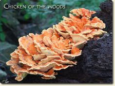 Edible Mushroom Identification | ... Wild Mushrooms - How to identify edible mushrooms, and more