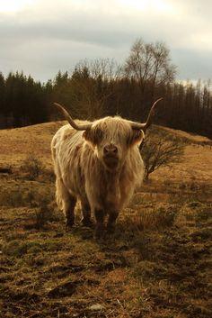 Scottish highlander - sorry, just passing!