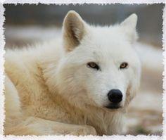 Wild Spirit Wolf Sanctuary - Animals - Alice