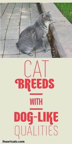 Cat Breeds With Dog-Like Qualities! :)