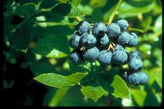 Blueberries for MN