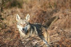 """A female juvenile red wolf at Pocosin Lakes National Wildlife Refuge. She was one of three pups in Jeff Corwin's """"100 Heartbeats."""" (http://blogs.scientificamerican.com/…/in-100-heartbeats-je…/) Photo and Information: Dr. Joey Hinton"""