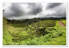 Tea Plantation, Azores by Adrian Theze