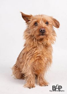 Look at this sad face who needs some love!! Meet CLOONEY a Petfinder adoptable Yorkshire Terrier Yorkie Dog | Surrey, BC | CLOONEY (AKA Handsome George) is a 7 year old neutered male Havanese / Yorkshire Terrier mix.  We...