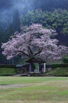 唐門と薄墨桜 by 一眼眼鏡 Fukui,Japan