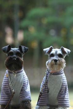 Miniature Schnauzer pajama party