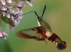 Hummingbird Moth   (yes this is a moth that looks and acts like a hummingbird)