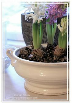 christmas hyacinth arrangement with pinecones