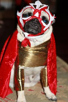 This is Pork (Halloween, dressed as a mexican wrestler named Pig Libre.I think he actually liked this costume. Also take note of my mad mask making skills. This costume was definitely handmade :) Pugs In Costume, Dog Costumes, Wrestling Outfits, Funny Animals, Cute Animals, Pug Rescue, Pug Mug, Pet Shampoo, Cute Pugs