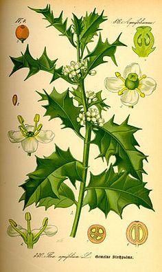 Acebo ( Ilex aquifolium)