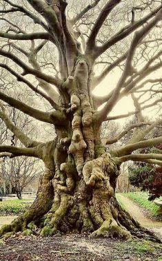 Nature tree – Weird trees – Tree – Tree faces – Trees to plant – Ancient tree – Beuk op begraa Giant Tree, Big Tree, Weird Trees, Magical Tree, Image Nature, Tree Faces, Unique Trees, Old Trees, Tree Trunks