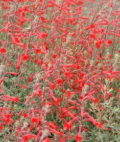 Zauschneria californica - California Fuschia - drought tolerant, hummingbirds, sun, may be invasive (keep it contained).