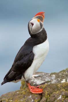 Atlantic Puffin by Milan Zygmunt on 500px