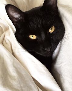 Black cat with Golden eyes under the covers. I Love Cats, Crazy Cats, Cute Cats, Groucho Marx, Pretty Cats, Beautiful Cats, Black Animals, Cute Animals, Black Cats