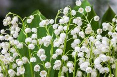 Lily Of The Valley Varieties – Growing Different Types Of Lily Of The Valley Plants Lily of the valley plants produce a delicate, fragrant flower that is unmistakable and a great addition to the garden. But what kind of selection is out there? Learn more about the different lily of the valley plant types in this article.