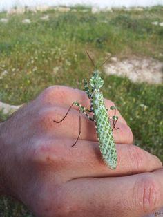 praying mantis in fashionable diamond pattern