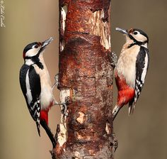 Great Spotted Woodpecker pair  by Csaba Loki