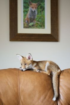 "Meet Rosie, the fox cub who was left abandoned by her father… | ""The Fox And The Hound"" Are Real-Life BFFs"