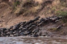 Migrating Wildebeasts