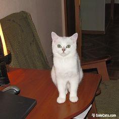 😻 Кот серебристой шиншиллы. 😻 Продаётся британский котик серебристой шиншиллы. Малышу 6,5 месяцев, он привит,чипирован. Воспитан,знает лоток на отлично. Очень ласковый и весёлый малыш. Готов к переезду в новый дом.  👇 Ссылка на страницу объявления 👇 https://salecats.com/board/231-kot-serebristoi-shinshilly.html  Мы в Instagram www.instagram.com/saleofcats