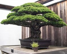 The 388 Year-Old Bonsai that survived the Hiroshima bomb. *wrote another pinner, I don't know whether it's true or not*