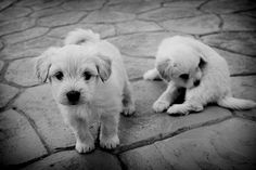 Black and white picture of two cute little white puppies in the street. One is sitting and cleaning him self and the other one is curious about the camera. ♥♥♥