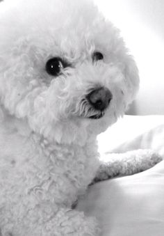 "Another picture?? My Bichons love to give me ""the glancies!"""
