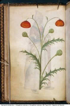 These images are from an unusual kind of manuscript. A booklet of 23 leaves, made in France around 1500. On one side of each leaf is a drawing of a man or woman showing off a costume, while the reverse of each leaf features an illustration of a flower or plant.