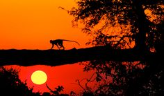 """""""A vervet monkey is silhouetted by the setting sun on the Botswana/Namibia border.""""    Smithsonian.com Photo of the Day: September 04, 2012. Photo by Thomas Boothby."""