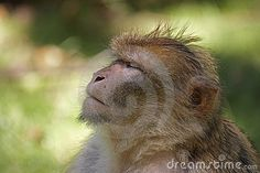 macaque on ledge - Google Search