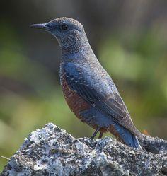 【愛鳥週間】ヨーロッパ・オセアニアの国鳥を貼ってく:ハムスター速報