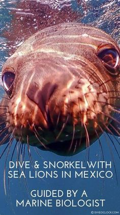 Pick your favorite: SCUBA dive or snorkel with sea lions in Baja California Sur. The water is warm, the sea lions are always playful and you are invited to help with marine research! Deep Diving, Best Scuba Diving, Scuba Travel, Hard Coral, Underwater Pictures, Sea Lions, Marine Conservation, Cave Diving, Baja California