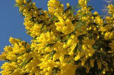 Mimosa d'hiver, Les fleurs - MonSitePhotos - MonSitePhotos