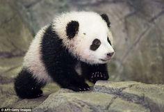 baby panda - Buscar con Google