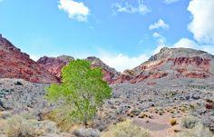 Nevada's greenest tree