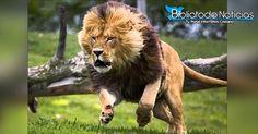 Cristianos perseguidos oran y Dios envia leones para protegerlos atacando a  los extremistas
