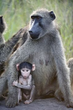 Chacma Baboons, Kruger National Park