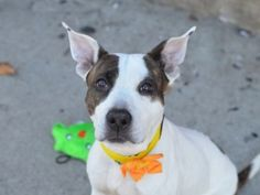 Brooklyn Center MINNIE – A1057148 FEMALE, WHITE / BR BRINDLE, AM PIT BULL TER MIX, 2 yrs STRAY – STRAY WAIT, NO HOLD Reason STRAY Intake condition EXAM REQ Intake Date 11/06/2015, From NY 11213, DueOut Date11/09/2015 Urgent Pets on Death Row, Inc