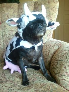 Haha complete with an udder! @Dearest Lizzie @Chelsea Williams @Sophia Silbergeld