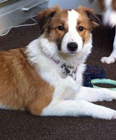 Sable & White Border Collie girl ..... Ginny