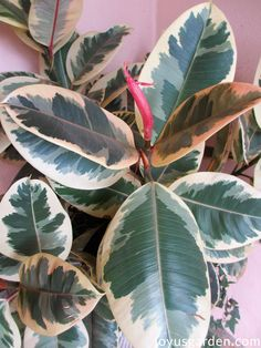 Ficus elastica variegata. Variegated Rubber Plant. The Easy Care Indoor Tree: Ficus Elastica (Rubber Plant, Rubber Tree) Growing Tips. Do you want an easy care indoor tree that grows tall & has large, glossy leaves? Well look no further.  These Ficus elastica (Rubber Plant, Rubber Tree) growing tips will keep yours looking great. #houseplants #gardening