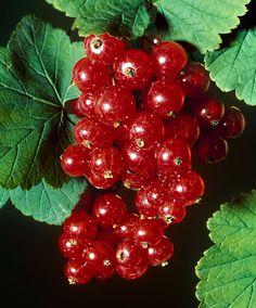 Ribes rubrum 'Jonkheer van Tets' - Röda vinbär
