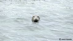 Grey Seal in the Sea.